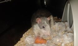 Orphée, rongeur Rat