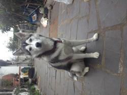 Orphée, chien Husky sibérien