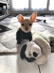 Orton, chiot Chihuahua