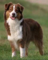 Osaka, chien Berger australien
