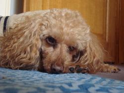 Oscar, chien Caniche