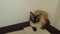 Oscar, chat Siamois