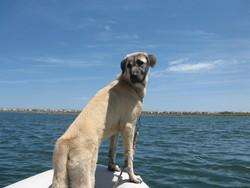 Oscar, chien Berger d'Anatolie