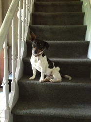 Oscar, chien Jack Russell Terrier