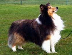 Oscar, chien Berger allemand