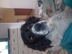 Oscar, chien Setter anglais