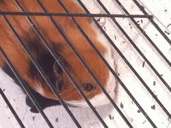 Oscar, rongeur Cochon d'Inde