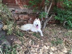 Oscar, chien Husky sibérien