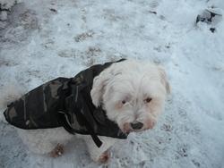 Oscar, chien Bichon maltais