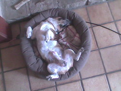 Oscar, chien Jack Russell Terrier