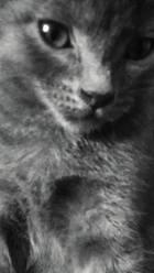 Oscar, chat Chartreux