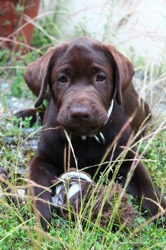 Oscar, chien Labrador Retriever
