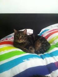 Oscar, chat Européen