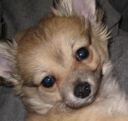 Oscar, chiot Chihuahua