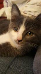 Oscar, chaton Bleu russe