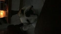Oscar, chien Bouledogue français