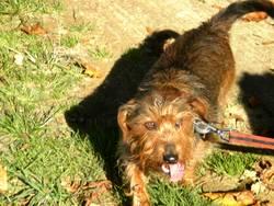 Oscar, chien Teckel