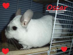 Oscar, rongeur Chinchilla