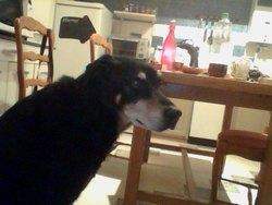 Oscar, chien Beauceron