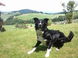 Oscar, chien Border Collie