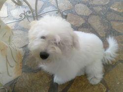 Oscar, chien Coton de Tuléar