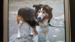 Oscare, chien Berger australien
