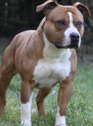 Osie, chien American Staffordshire Terrier