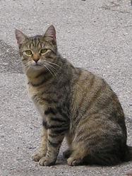 Osier, chat Européen