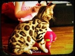 Osiris, chat Bengal