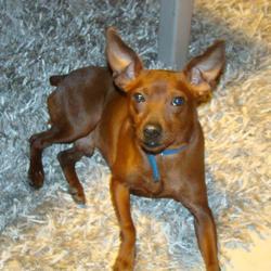 Osiris, chien Pinscher