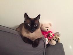 Osiris, chat Siamois