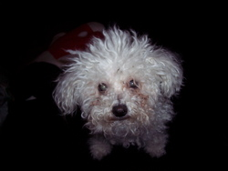Osiris, chien Bichon à poil frisé