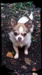 Oslo, chien Chihuahua