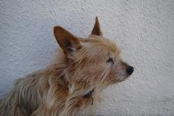 Oslo, chien Yorkshire Terrier