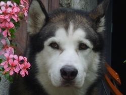 Oslo, chien Husky sibérien