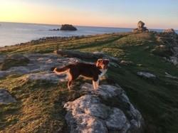 Oslo, chien Berger australien