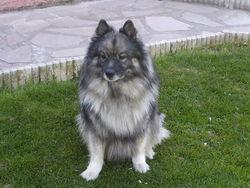 Oslow, chien Spitz allemand