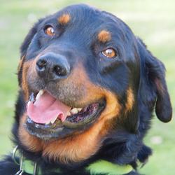 Othello, chien Beauceron