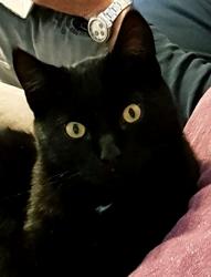 Othello, chaton Européen