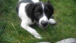Otis, chien Springer anglais