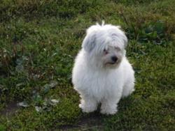 Otis, chien Bichon maltais