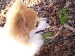 Ottis, chien Spitz allemand