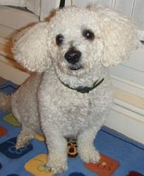 Otto, chien Bichon à poil frisé