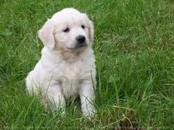 Ouf, chien Golden Retriever