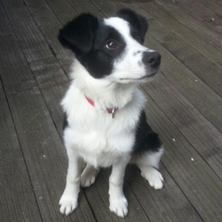 Figaro, chien Border Collie