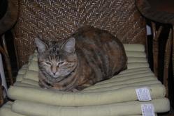 Ouistitigre, chat Gouttière