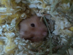 Ouistity, rongeur Hamster