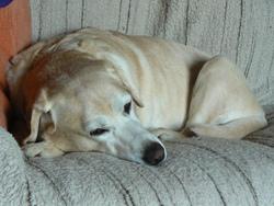 Oulan, chien Labrador Retriever
