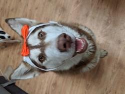 Ouma, chien Malamute de l'Alaska