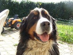 Ouma, chien Bouvier bernois